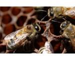 Акарапидоз и варроатоз пчел