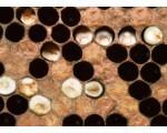 Аскосфероз и аспергиллез пчел