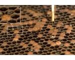 Вирусные болезни пчел